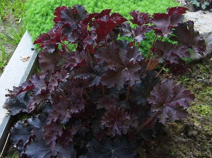 Гейхера палас Пурпурный замок Heuchera micrantha Palace Purple посадка и уход фото